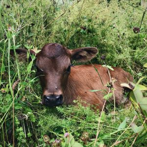 Our newborn calf laying in the grass