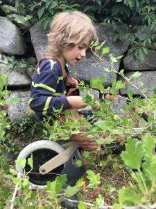 Oliver picking gooseberries