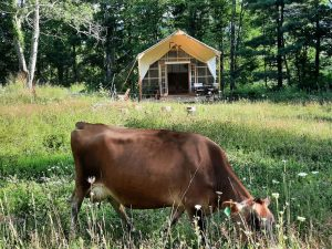 Our family cow grazing in front of our tent