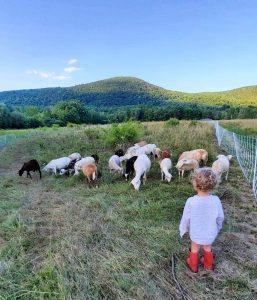 Little boy watching sheep