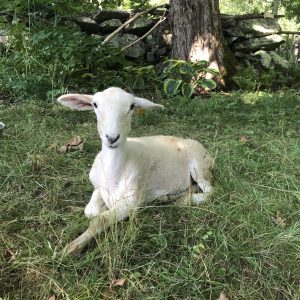 Lamb laying in the grass