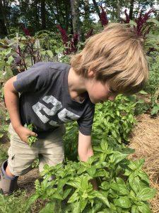 Boy picking basil