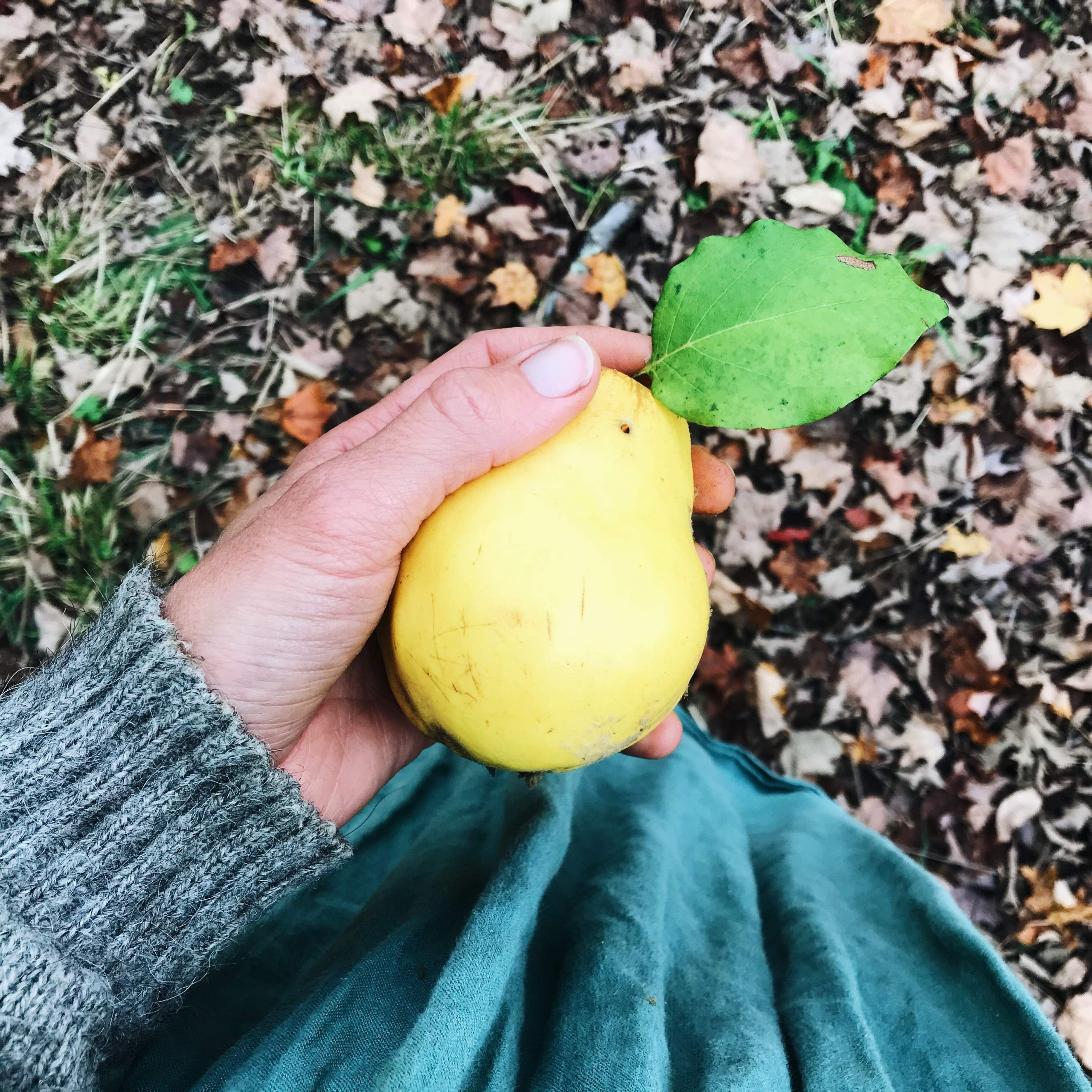 Quince in hand with leaves on ground
