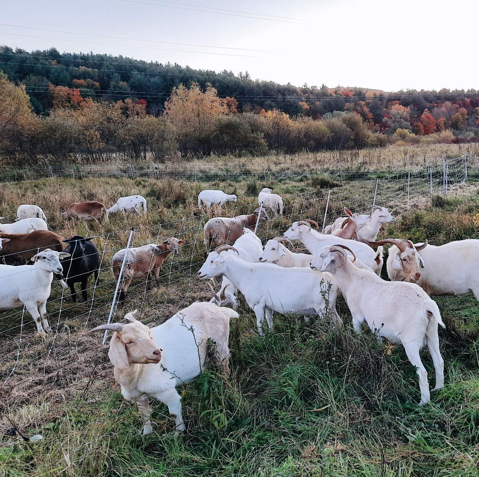 Sheep and goats in field