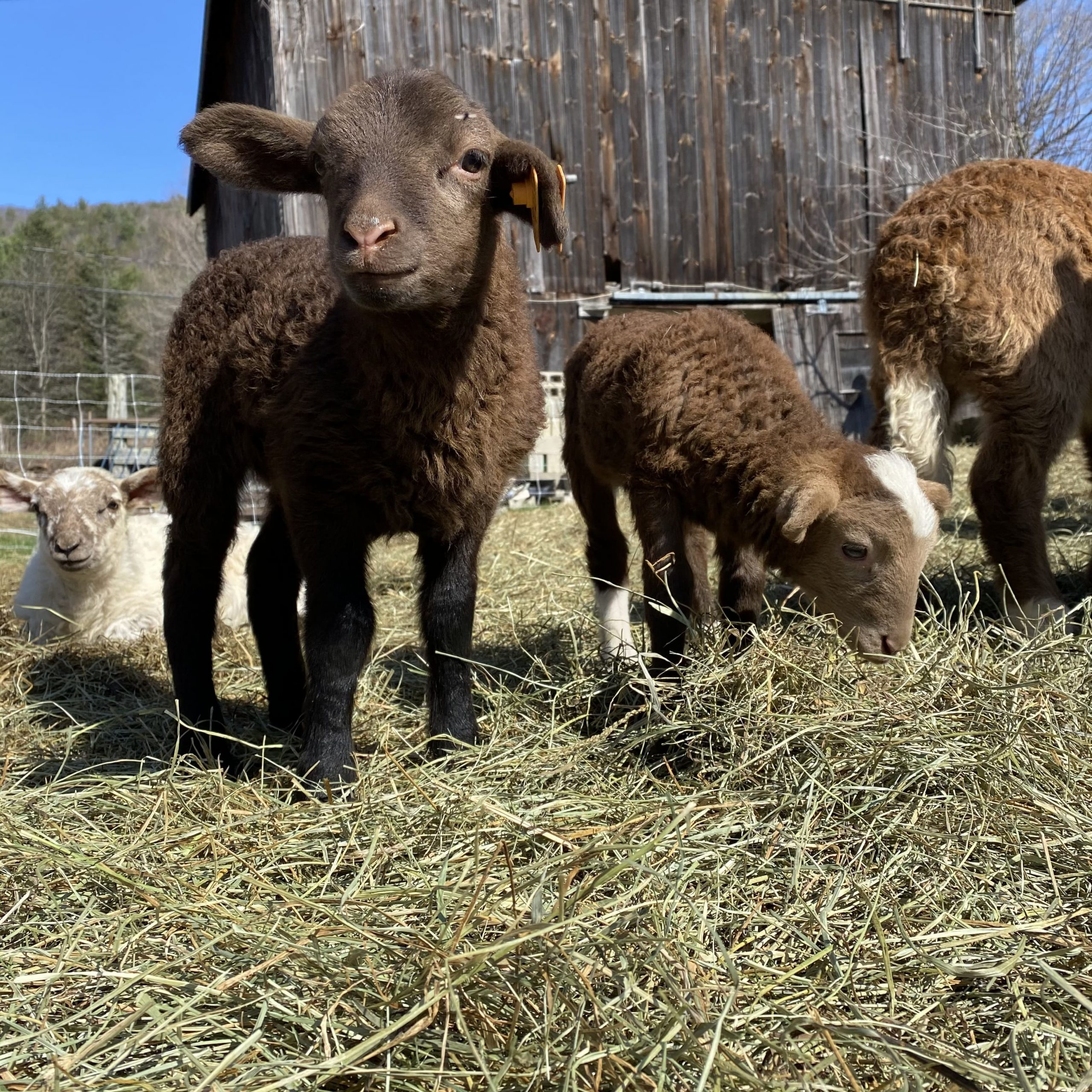 Lambs in spring