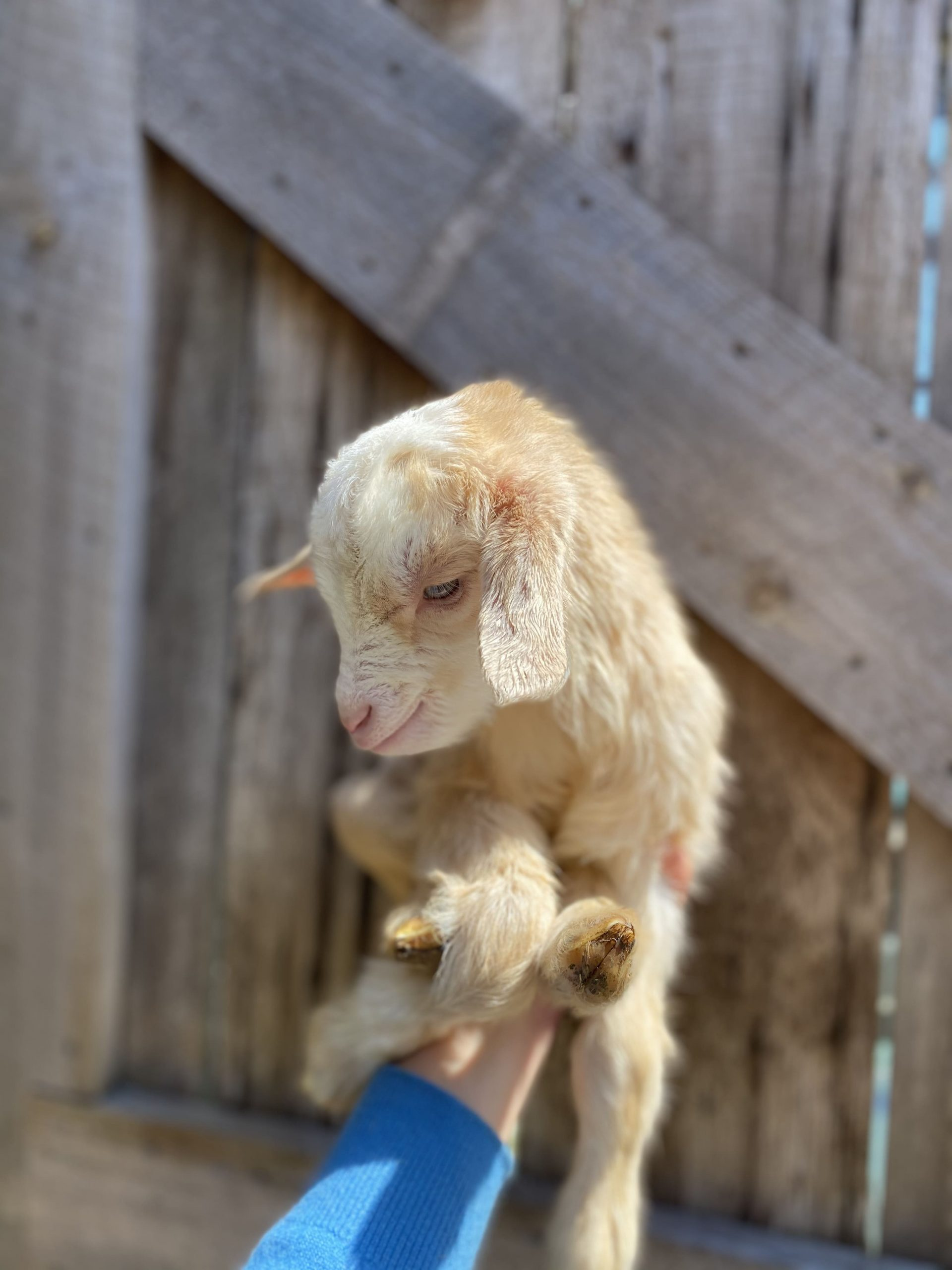 Newborn goat kid